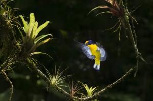 Oiseau-jaune_ailes ouvertes_DSC_4675 (1)